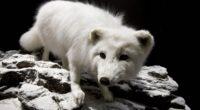 polar fox face eyes 4k 1542241734 200x110 - polar fox, face, eyes 4k - polar fox, Face, Eyes