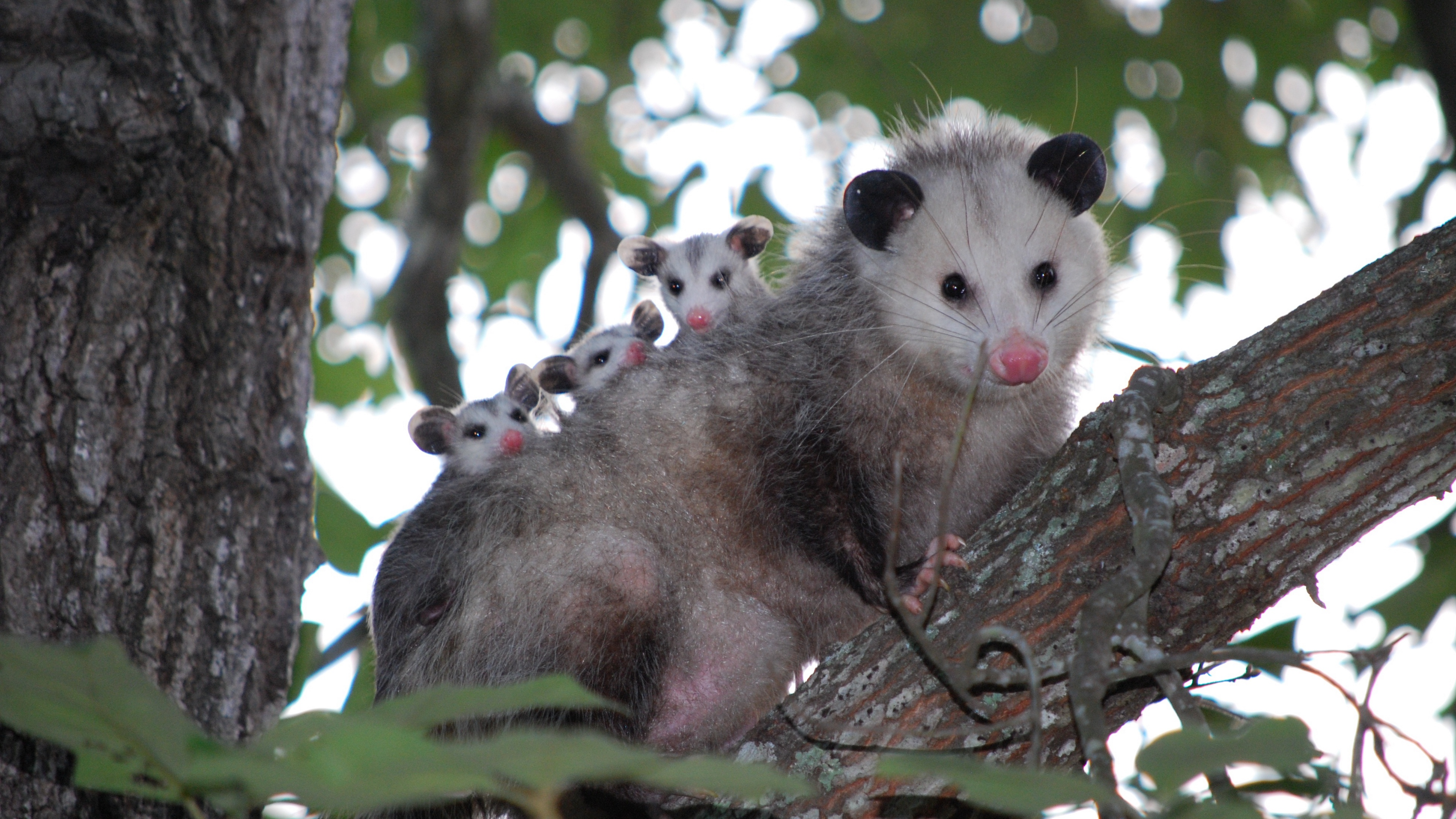 possum cubs tree care family 4k 1542242957 - possum, cubs, tree, care, family 4k - tree, possum, Cubs