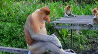 proboscis monkey monkey sitting 4k 1542241749 200x110 - proboscis monkey, monkey, sitting 4k - Sitting, proboscis monkey, Monkey