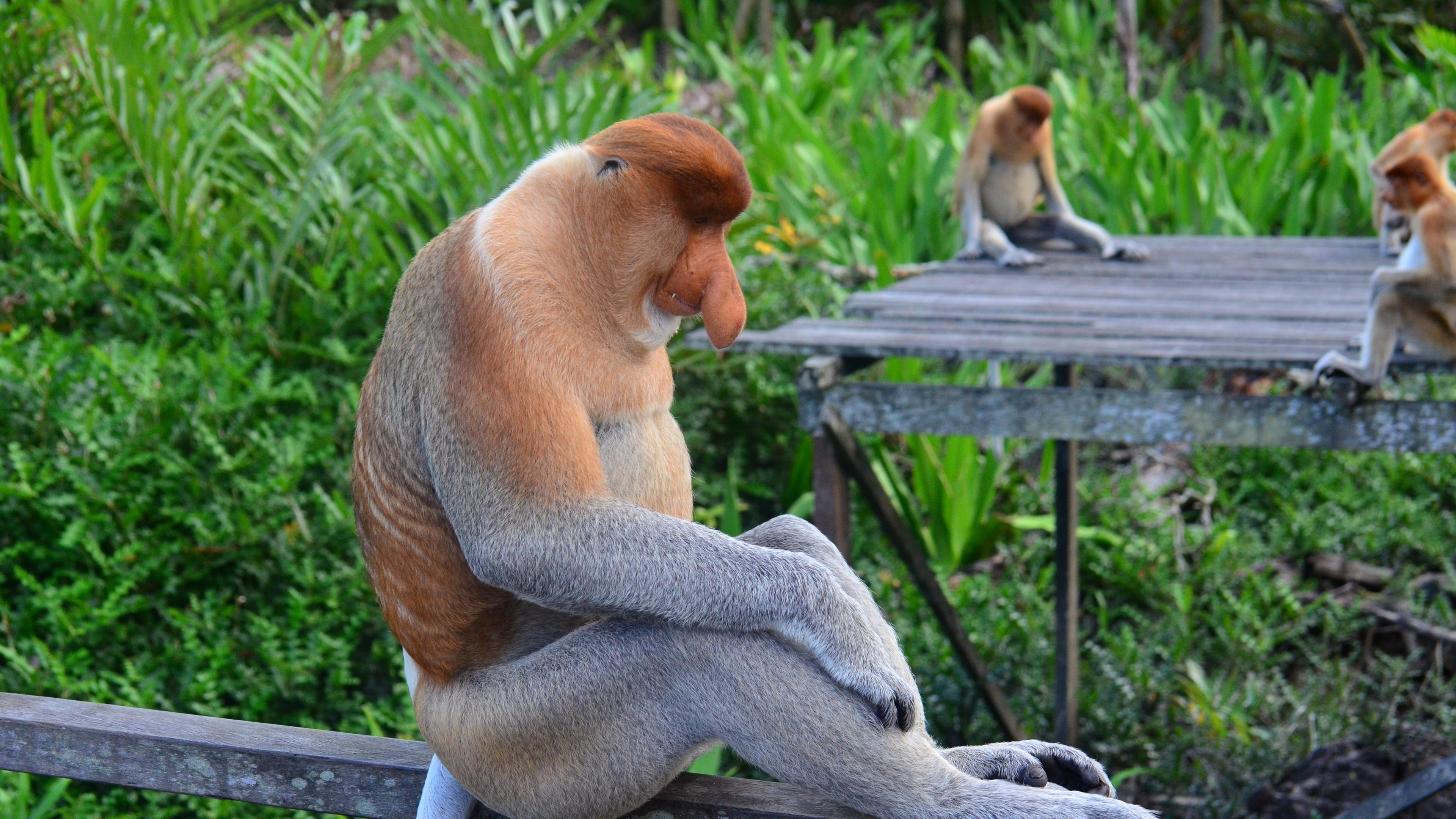 proboscis monkey monkey sitting 4k 1542241749 - proboscis monkey, monkey, sitting 4k - Sitting, proboscis monkey, Monkey