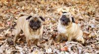 pug foliage dogs funny 4k 1542241381 200x110 - pug, foliage, dogs, funny 4k - pug, foliage, Dogs