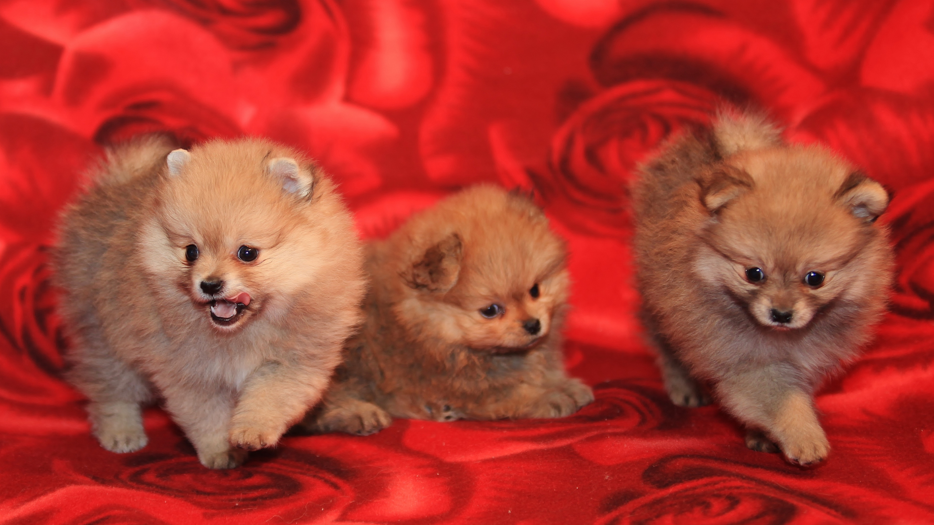 puppies dogs three playful 4k 1542241643 - puppies, dogs, three, playful 4k - Three, Puppies, Dogs