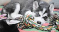 puppy husky dog lying 4k 1542242887 200x110 - puppy, husky, dog lying 4k - Puppy, husky, dog lying