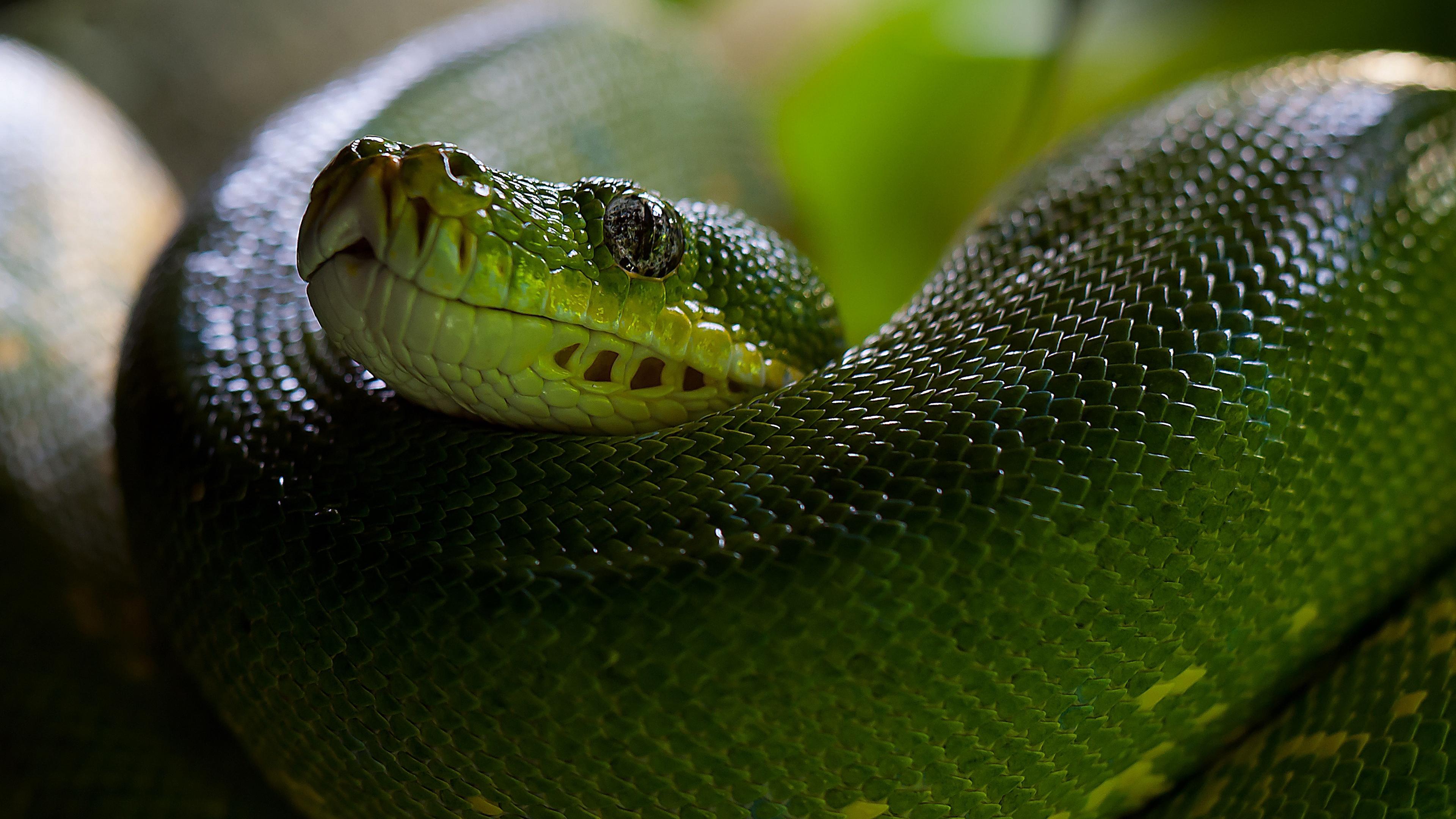python snake head scales 4k 1542242408 - python, snake, head, scales 4k - Snake, python, Head