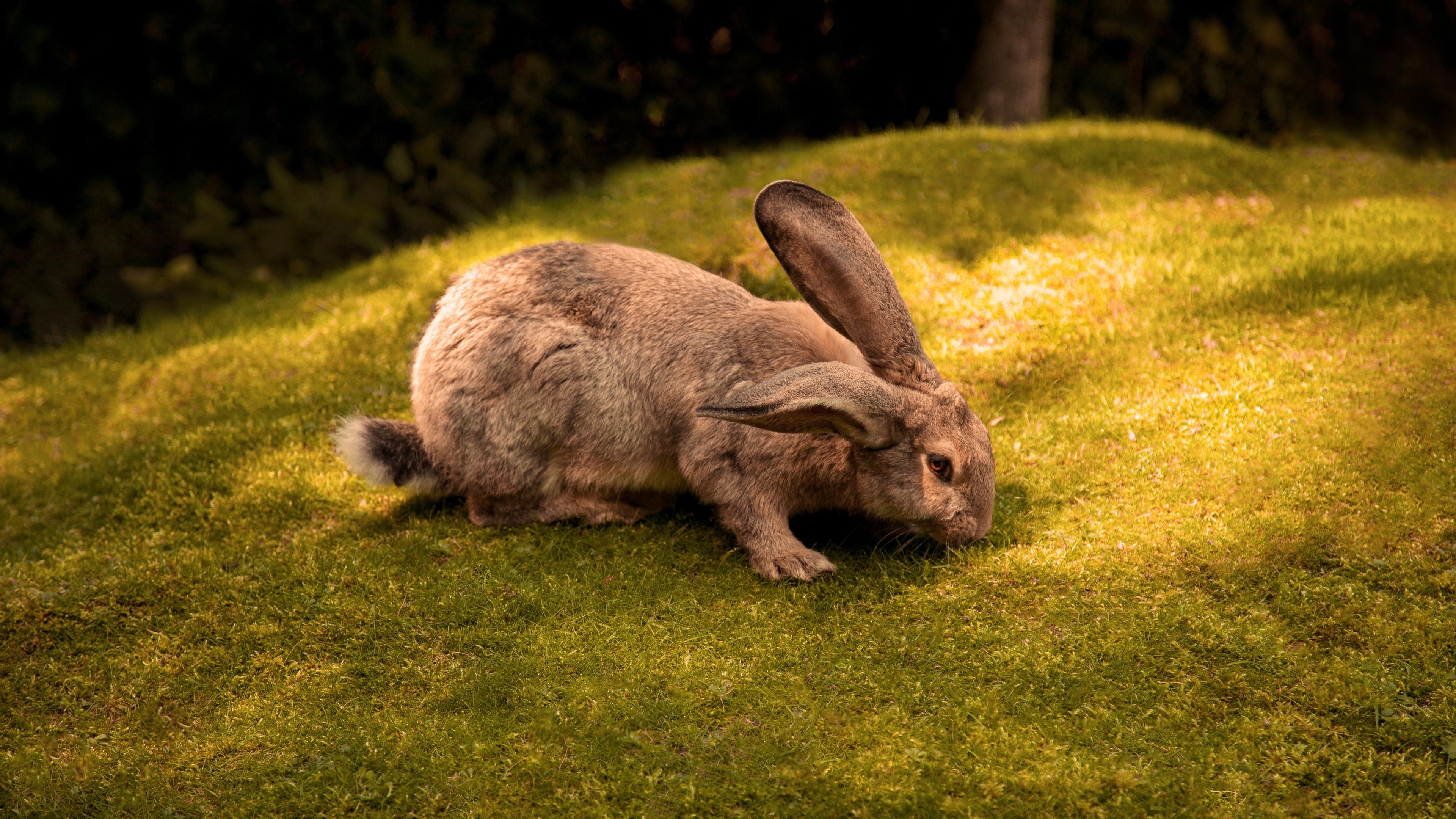 rabbit 4k 1542239654 - Rabbit 4k - rabbit wallpapers, hd-wallpapers, animals wallpapers, 4k-wallpapers