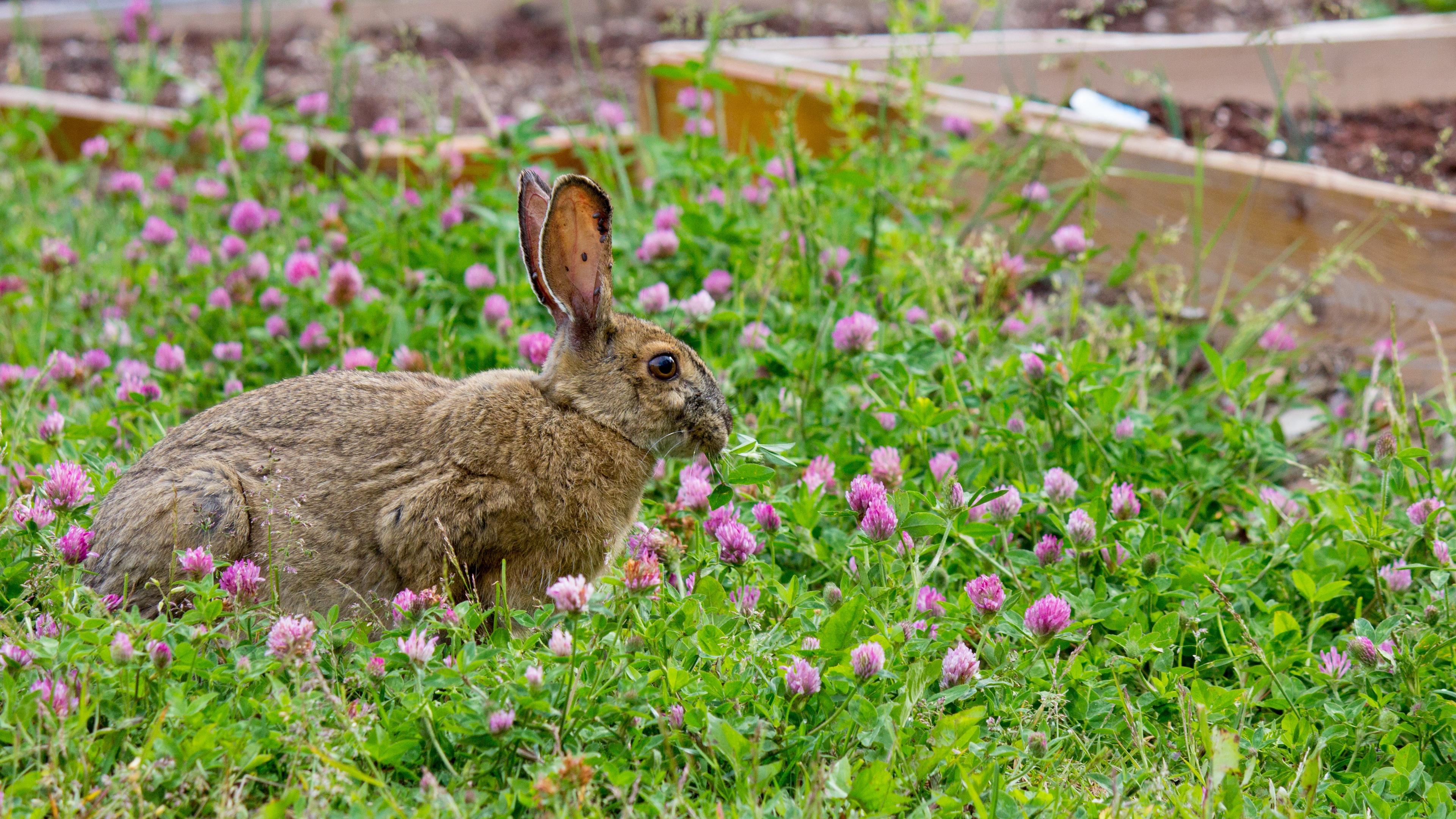 rabbit grass clover walk 4k 1542241412 - rabbit, grass, clover, walk 4k - Rabbit, Grass, Clover