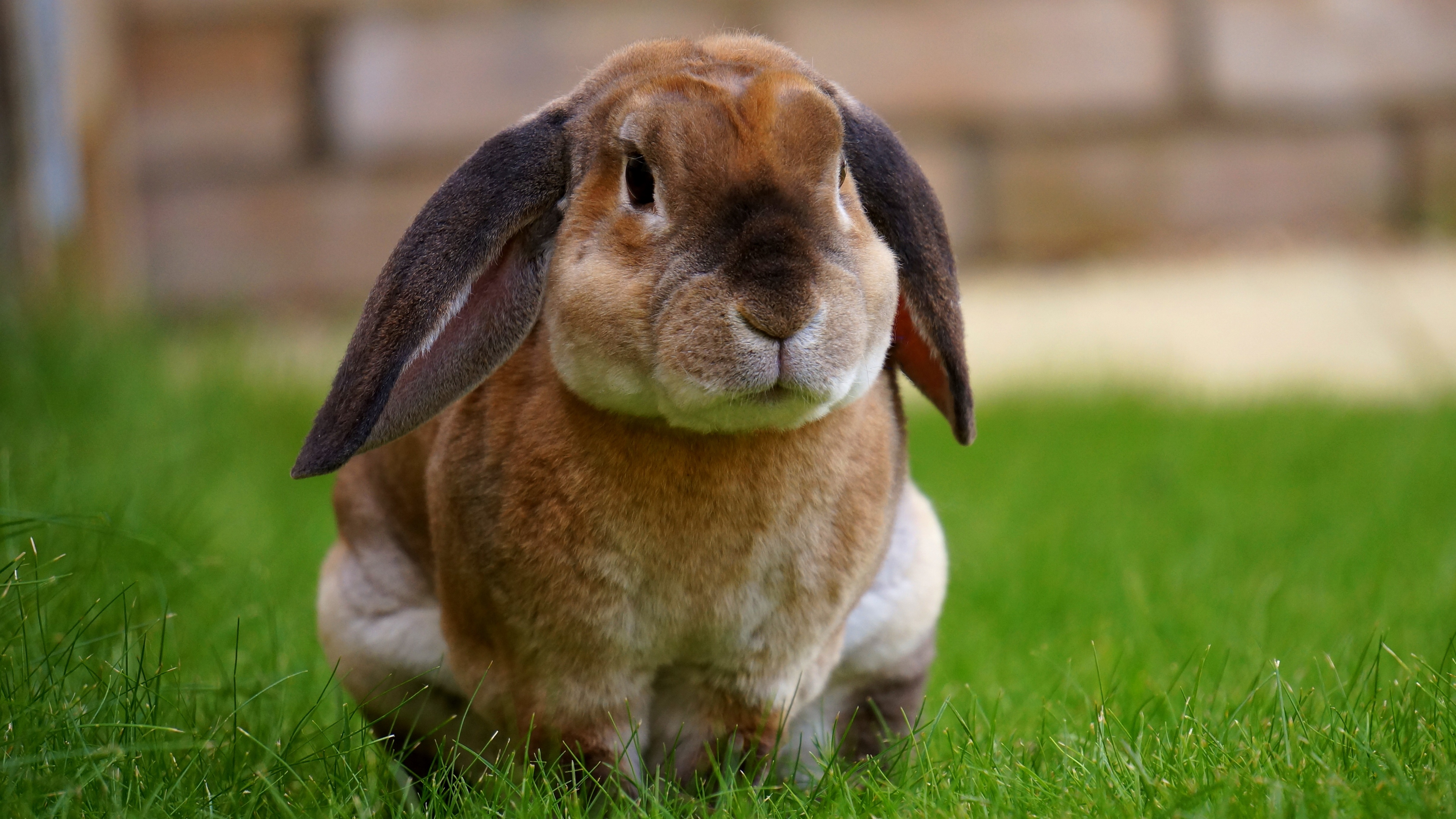 rabbit sitting grass cute 4k 1542241978 - rabbit, sitting, grass, cute 4k - Sitting, Rabbit, Grass