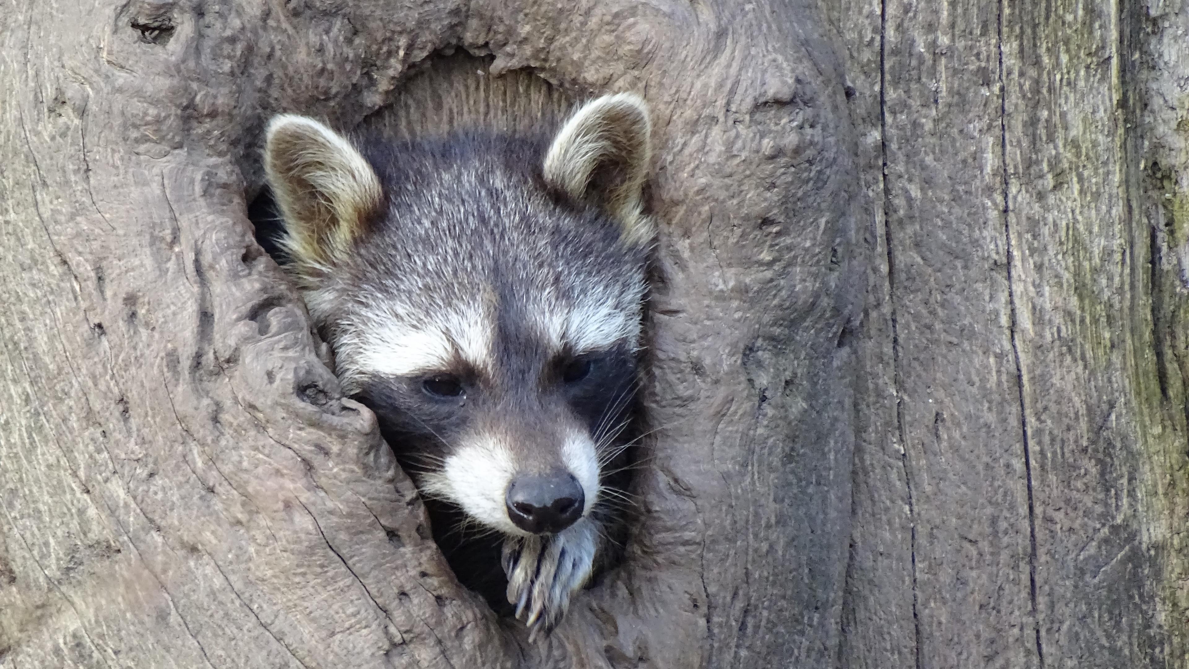 raccoon hollow tree face striped 4k 1542242427 - raccoon, hollow tree, face, striped 4k - raccoon, hollow tree, Face