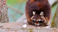 raccoons fluffy food climbing 4k 1542241740 200x110 - raccoons, fluffy, food, climbing 4k - raccoons, food, fluffy