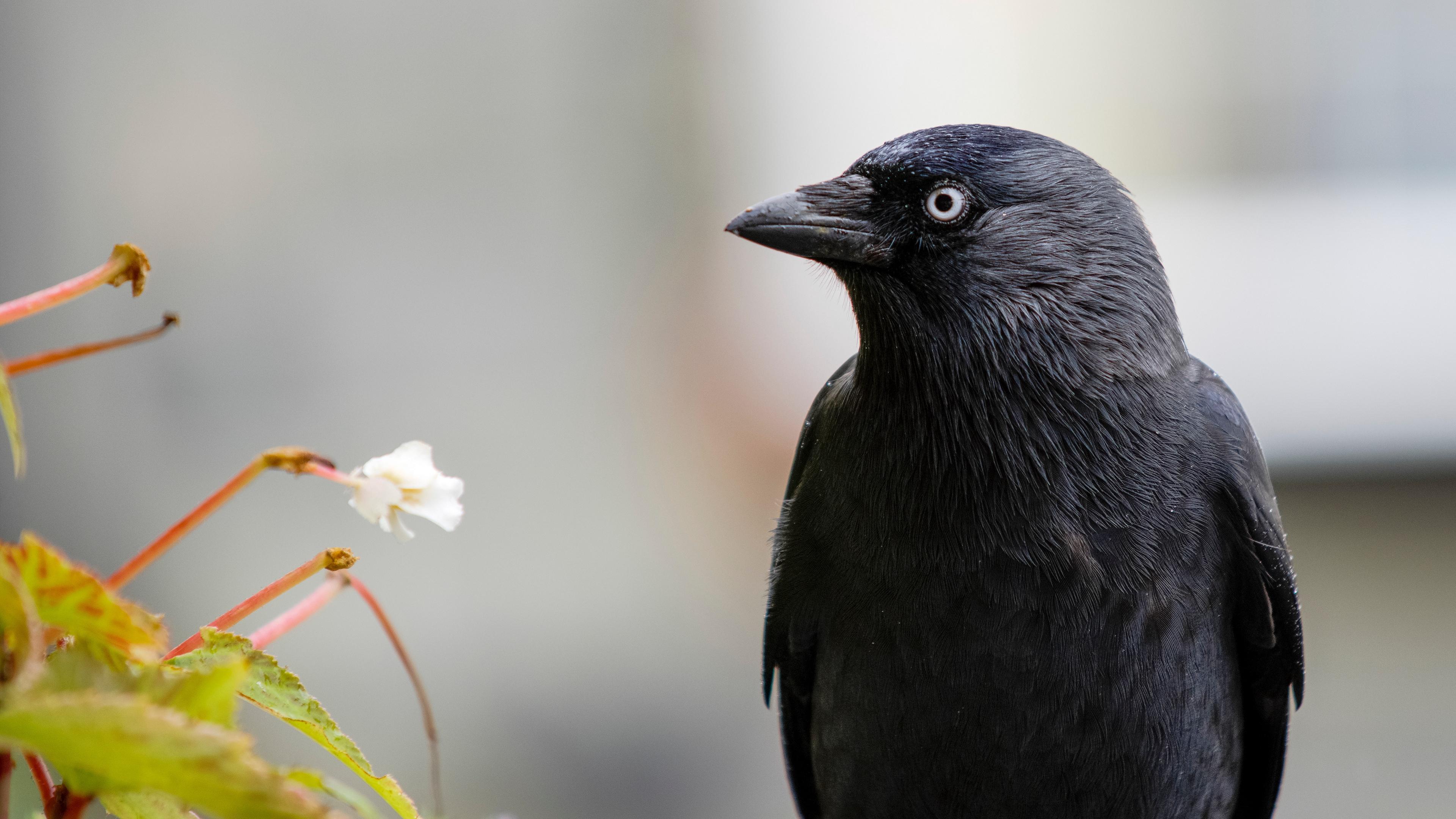 raven bird black 4k 1542242151 - raven, bird, black 4k - Raven, Black, Bird