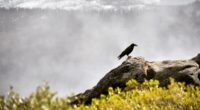 raven bird grass mountains 4k 1542241371 200x110 - raven, bird, grass, mountains 4k - Raven, Grass, Bird