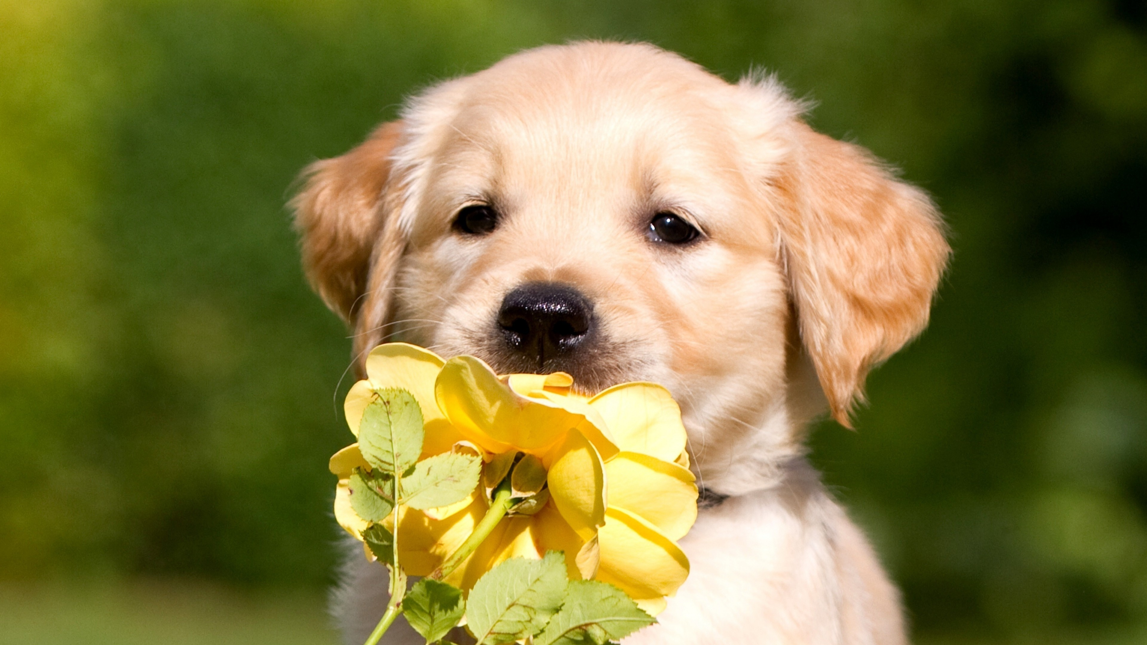 retriever puppy petals 4k 1542237843 - Retriever Puppy Petals 4k - puppy wallpapers, petals wallpapers, labrador retriever wallpapers, dog wallpapers, animals wallpapers