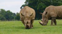 rhino couple food grass 4k 1542242439 200x110 - rhino, couple, food, grass 4k - rhino, food, Couple