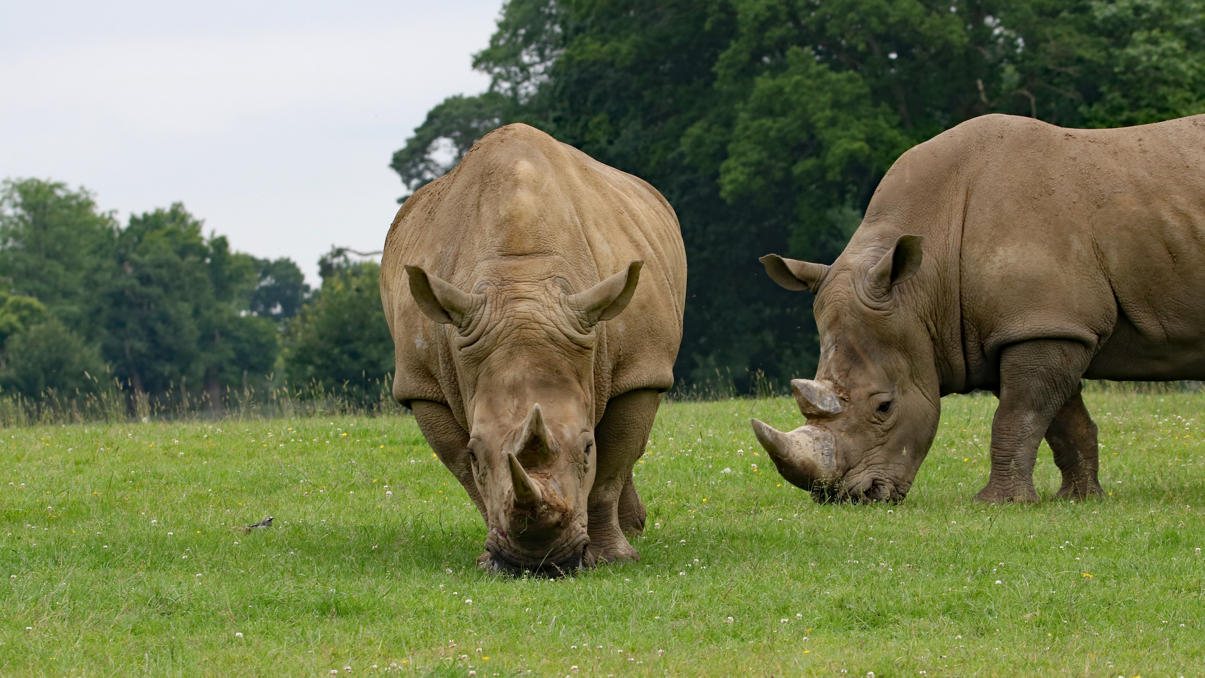 rhino couple food grass 4k 1542242439 - rhino, couple, food, grass 4k - rhino, food, Couple