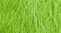 rice fields green grass drops 4k 1541114383 200x110 - rice fields, green, grass, drops 4k - rice fields, green, Grass