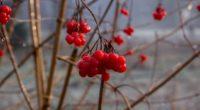 rowan berry branch 4k 1541114517 200x110 - rowan, berry, branch 4k - rowan, branch, Berry