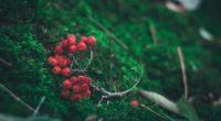 rowan branch berries 4k 1541114376 200x110 - rowan, branch, berries 4k - rowan, branch, berries