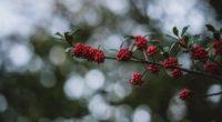 rowanberry berries branch bokeh blur 4k 1541113507 200x110 - rowanberry, berries, branch, bokeh, blur 4k - rowanberry, branch, berries