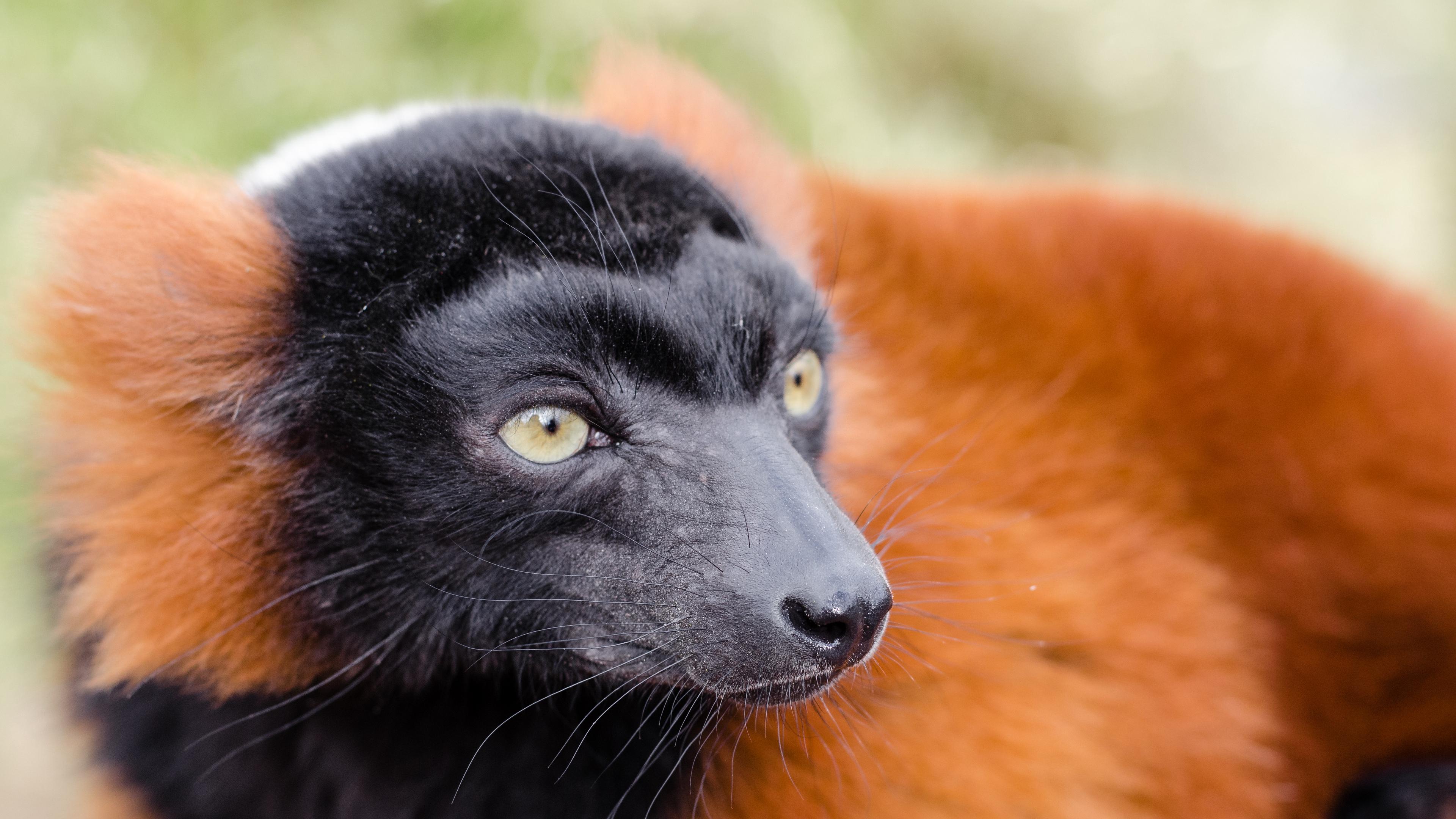 ruffed lemur lemur muzzle nose 4k 1542242610 - ruffed lemur, lemur, muzzle, nose 4k - ruffed lemur, muzzle, lemur