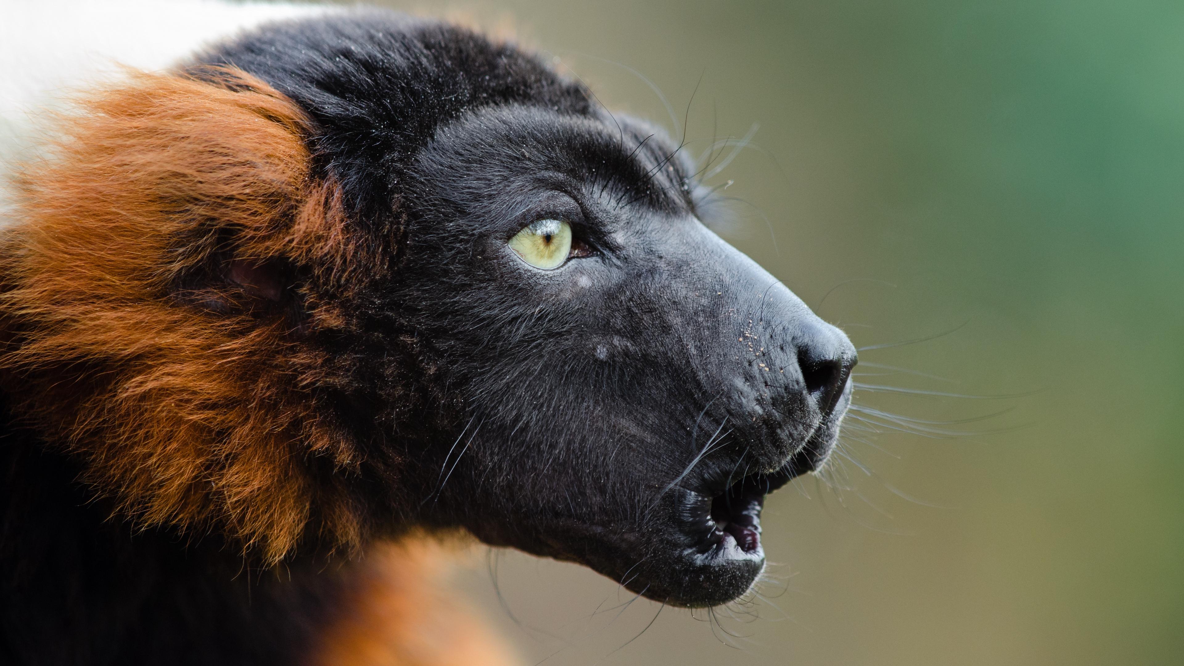 ruffed lemur muzzle emotion 4k 1542243009 - ruffed lemur, muzzle, emotion 4k - ruffed lemur, muzzle, Emotion