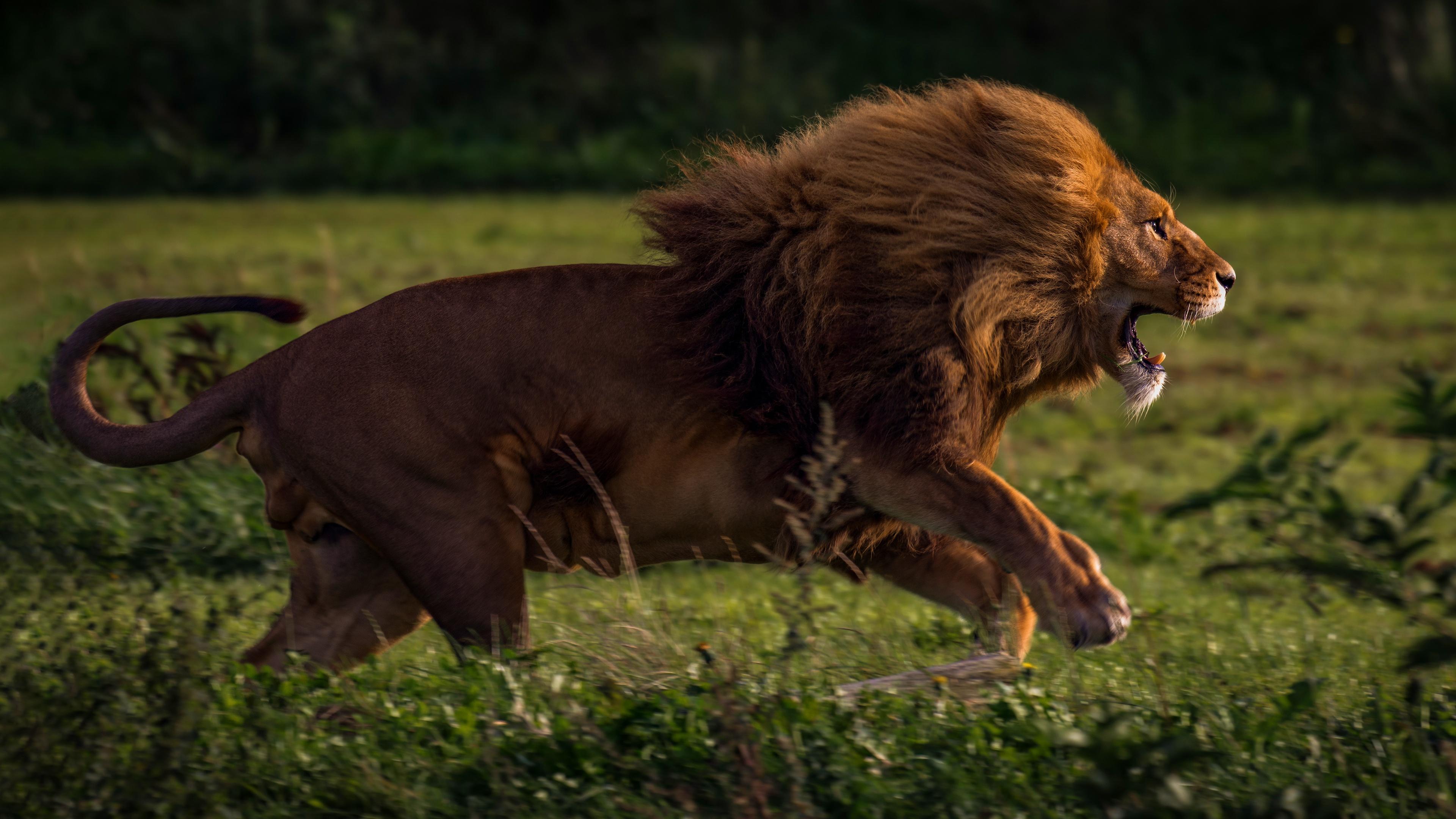 running lion 4k 1542239656 - Running Lion 4k - lion wallpapers, hd-wallpapers, animals wallpapers, 4k-wallpapers
