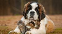 saint bernad playing with kittens 4k 1542237742 200x110 - Saint Bernad Playing With Kittens 4k - saint bernard wallpapers, dog wallpapers, animals wallpapers