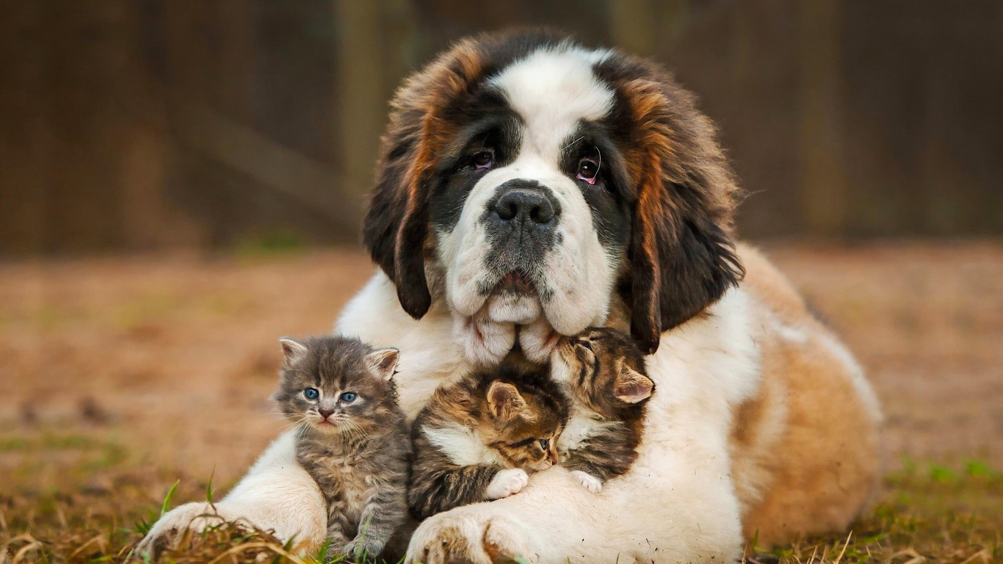 saint bernad playing with kittens 4k 1542237742 - Saint Bernad Playing With Kittens 4k - saint bernard wallpapers, dog wallpapers, animals wallpapers