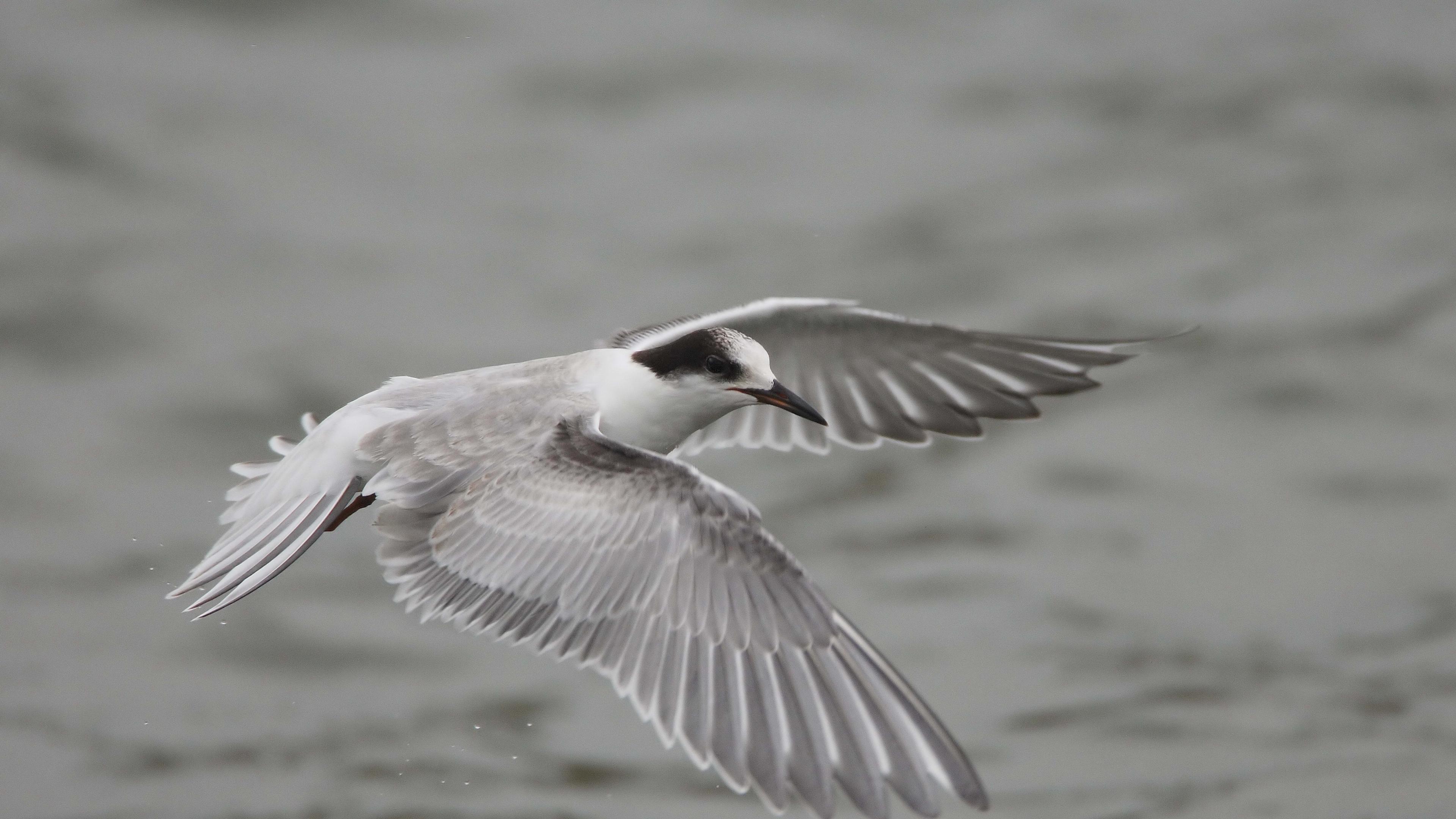 seagull flying flap wings 4k 1542242130 - seagull, flying, flap, wings 4k - Seagull, Flying, flap
