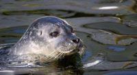 seal water swim 4k 1542241635 200x110 - seal, water, swim 4k - Water, swim, seal