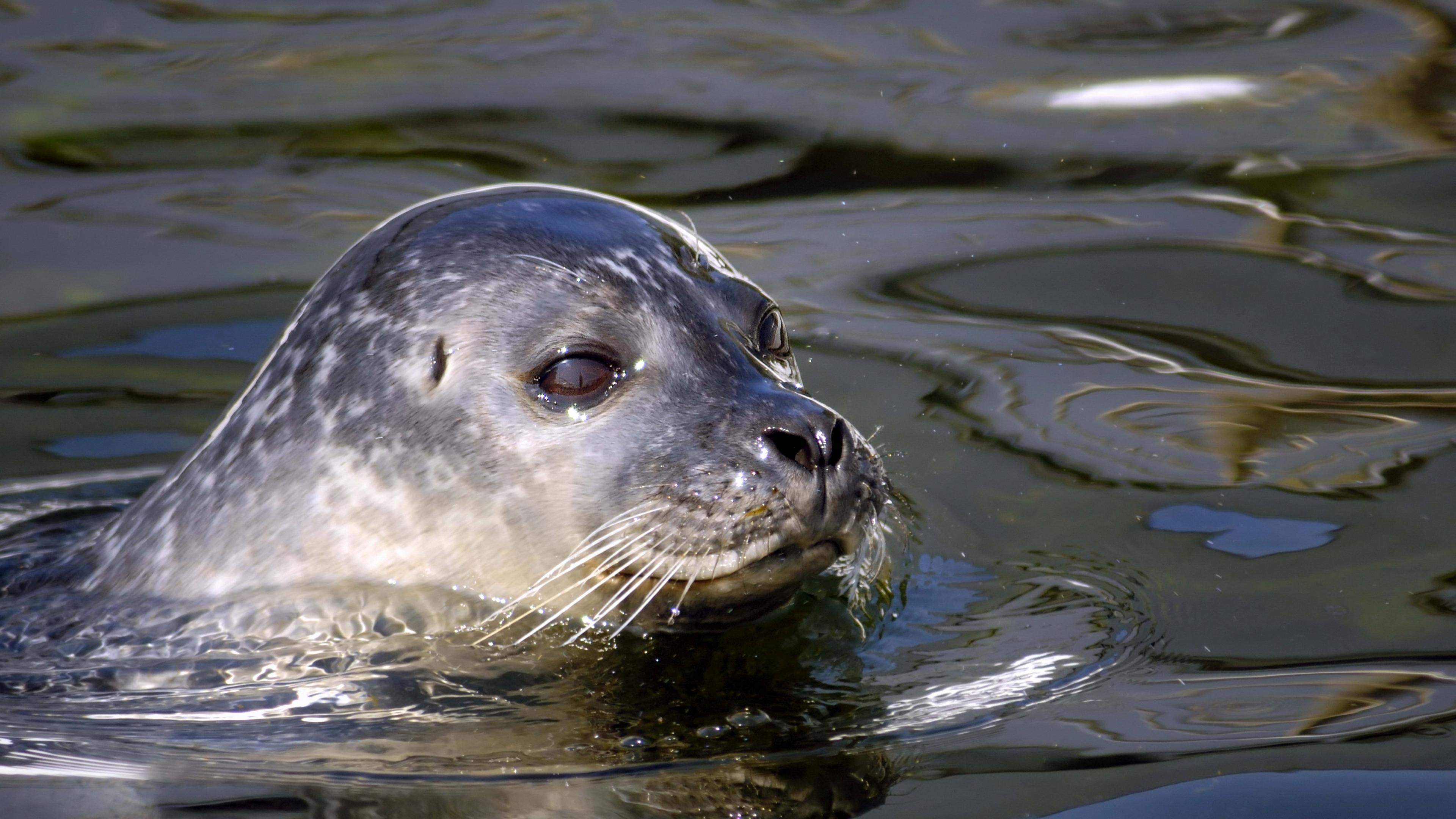 seal water swim 4k 1542241635 - seal, water, swim 4k - Water, swim, seal