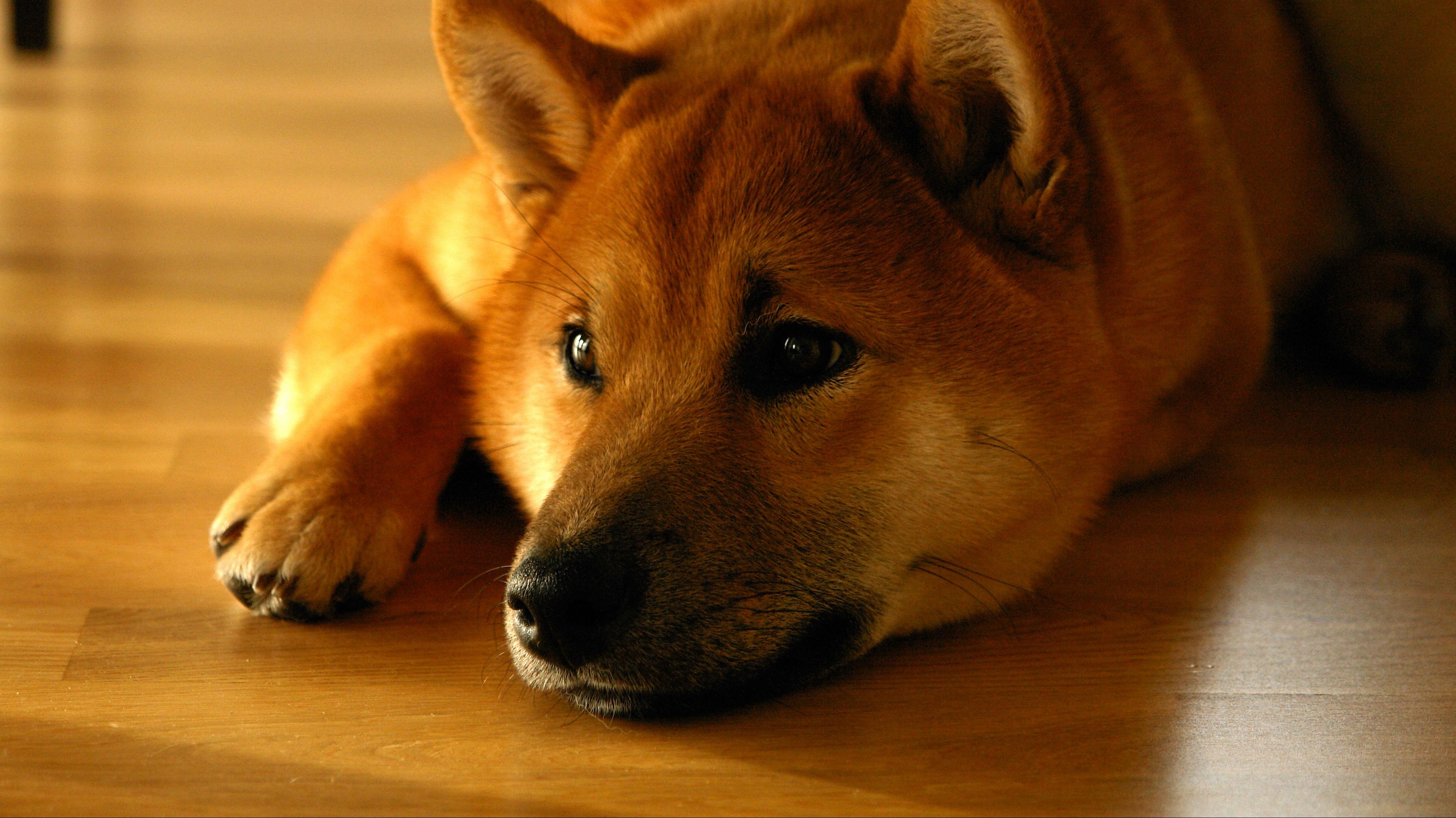 Wallpaper 4k Shiba Inu Dog Muzzle Lies 4k Dog Muzzle Shiba Inu
