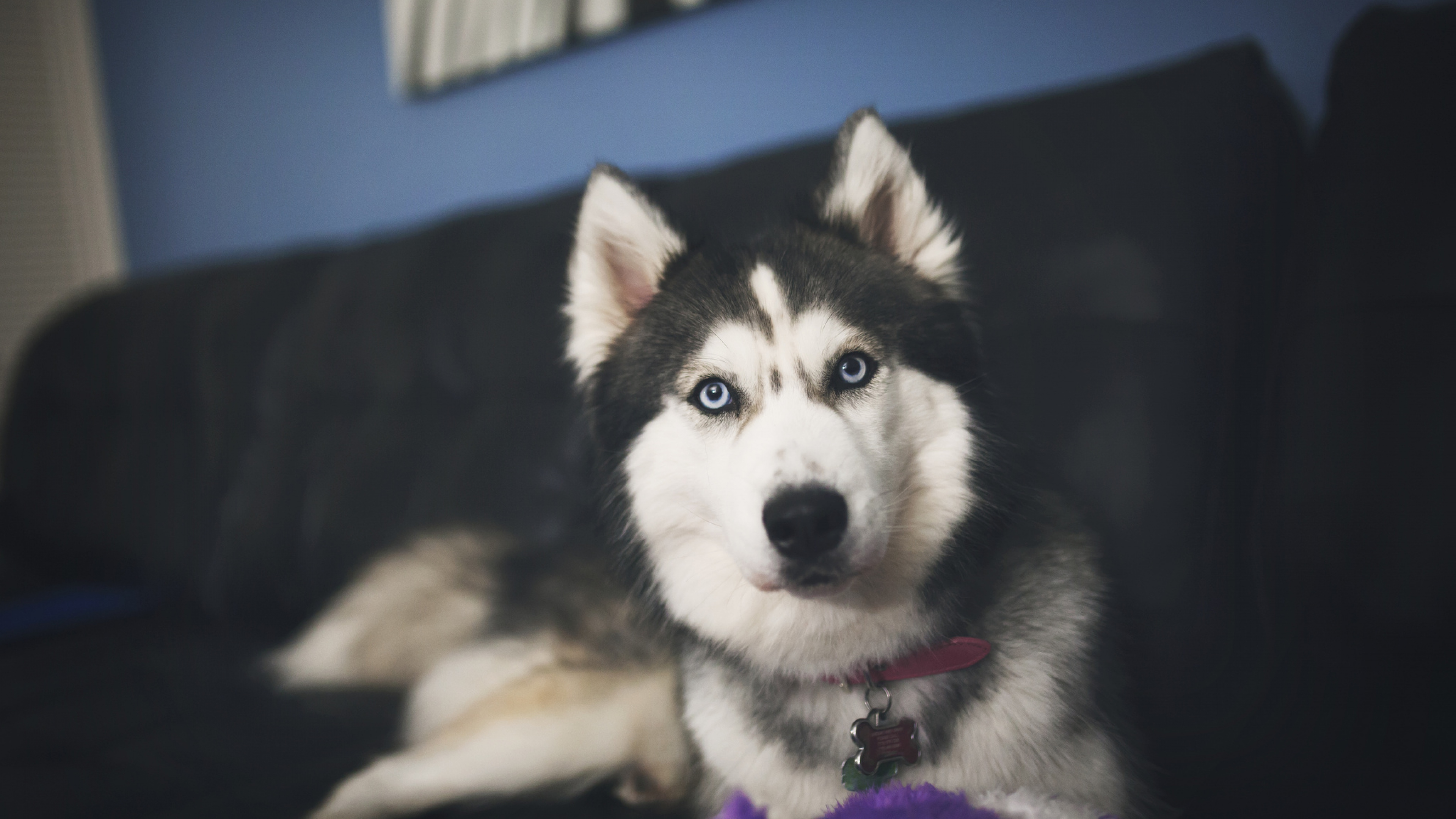 siberan husky 2 1542237647 - Siberan Husky 2 - siberan husky wallpapers, dog wallpapers, animals wallpapers