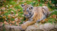 siberian tiger cub predator autumn foliage 4k 1542242149 200x110 - siberian tiger, cub, predator, autumn, foliage 4k - siberian tiger, Predator, Cub