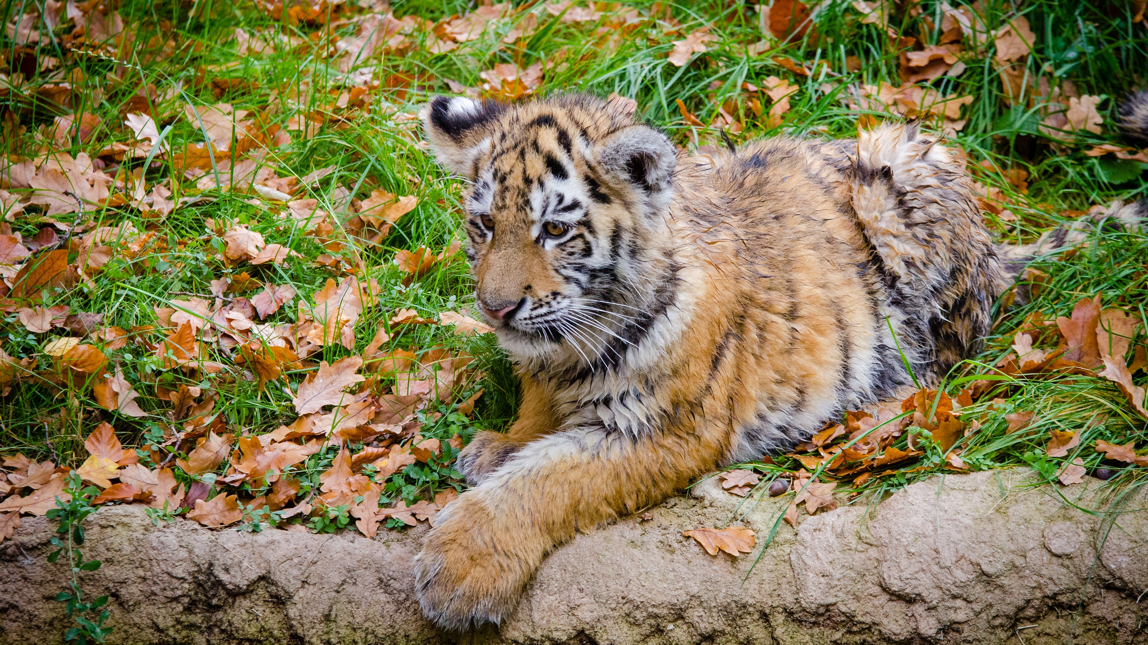 siberian tiger cub predator autumn foliage 4k 1542242149 - siberian tiger, cub, predator, autumn, foliage 4k - siberian tiger, Predator, Cub