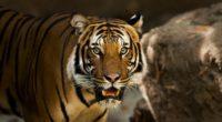 siberian tiger predator wild cat 4k 1542242858 200x110 - siberian tiger, predator, wild cat 4k - wild cat, siberian tiger, Predator