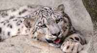 snow leopard 4k 1542237840 200x110 - Snow Leopard 4k - snow leopard wallpapers, predator wallpapers, animals wallpapers