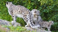 snow leopard little family 4k 1542242550 200x110 - snow leopard, little, family 4k - snow leopard, Little, Family