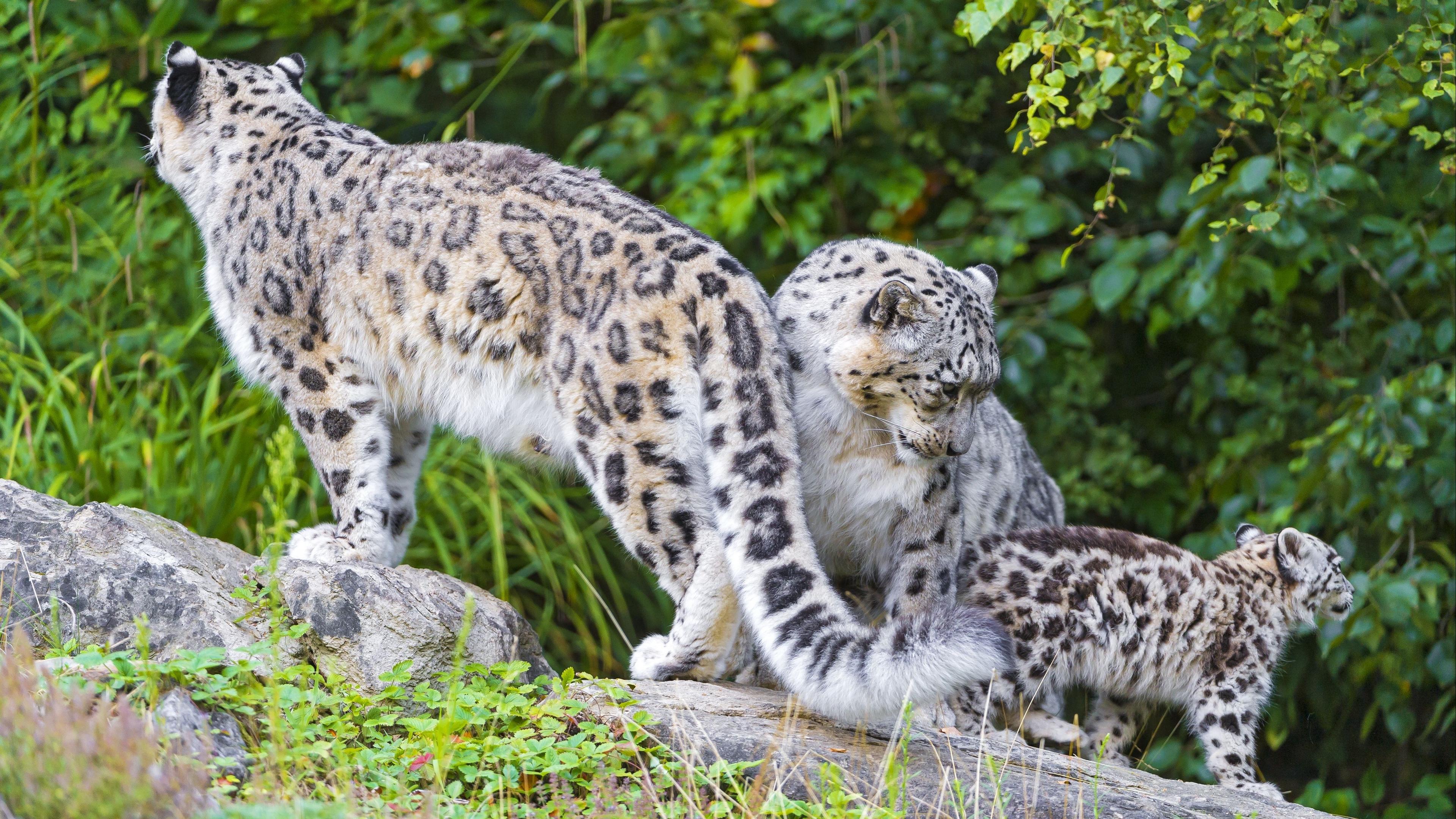 snow leopard little family 4k 1542242550 - snow leopard, little, family 4k - snow leopard, Little, Family