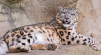 snow leopard stones lie teeth anger predator 4k 1542242392 200x110 - snow leopard, stones lie, teeth, anger, predator 4k - teeth, stones lie, snow leopard