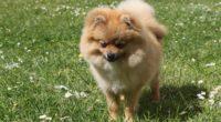 spitz dog miniature grass 4k 1542242662 200x110 - spitz, dog, miniature, grass 4k - spitz, miniature, Dog