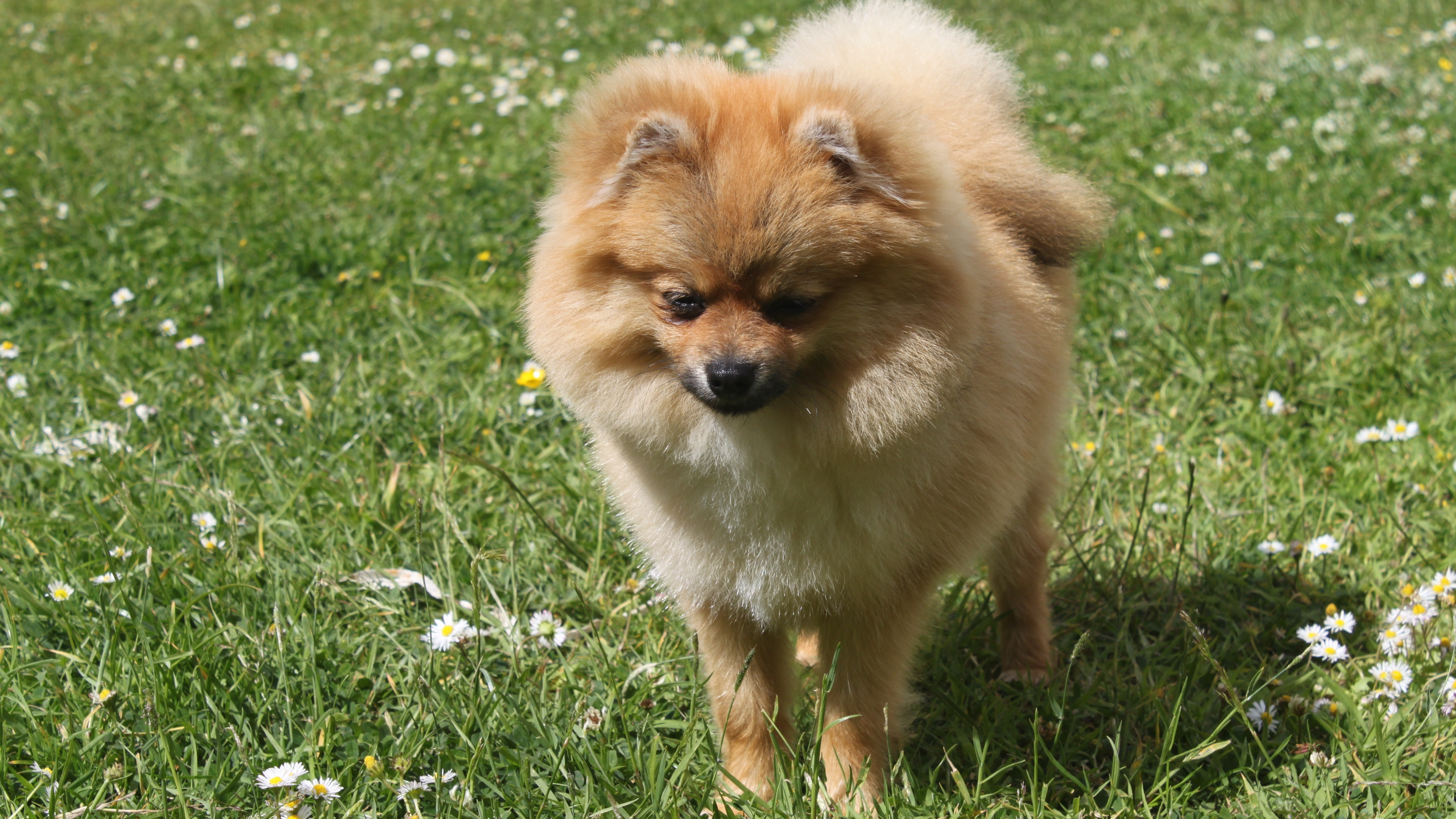 spitz dog miniature grass 4k 1542242662 - spitz, dog, miniature, grass 4k - spitz, miniature, Dog