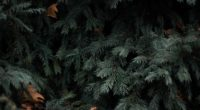 spruce branches needles green 4k 1541116169 200x110 - spruce, branches, needles, green 4k - spruce, needles, branches