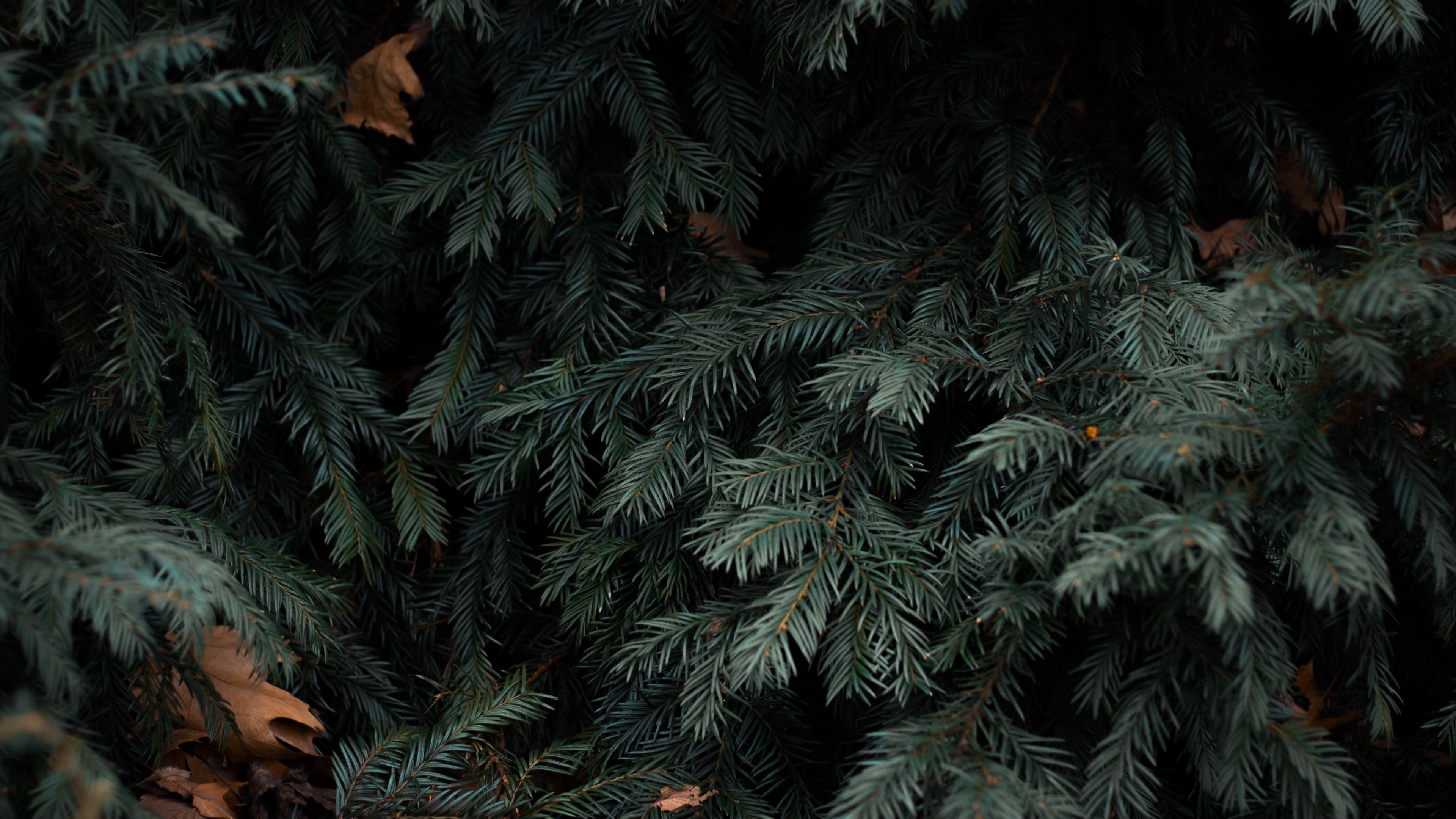 spruce branches needles green 4k 1541116169 - spruce, branches, needles, green 4k - spruce, needles, branches