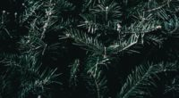 spruce branches spines 4k 1541116607 200x110 - spruce, branches, spines 4k - spruce, spines, branches