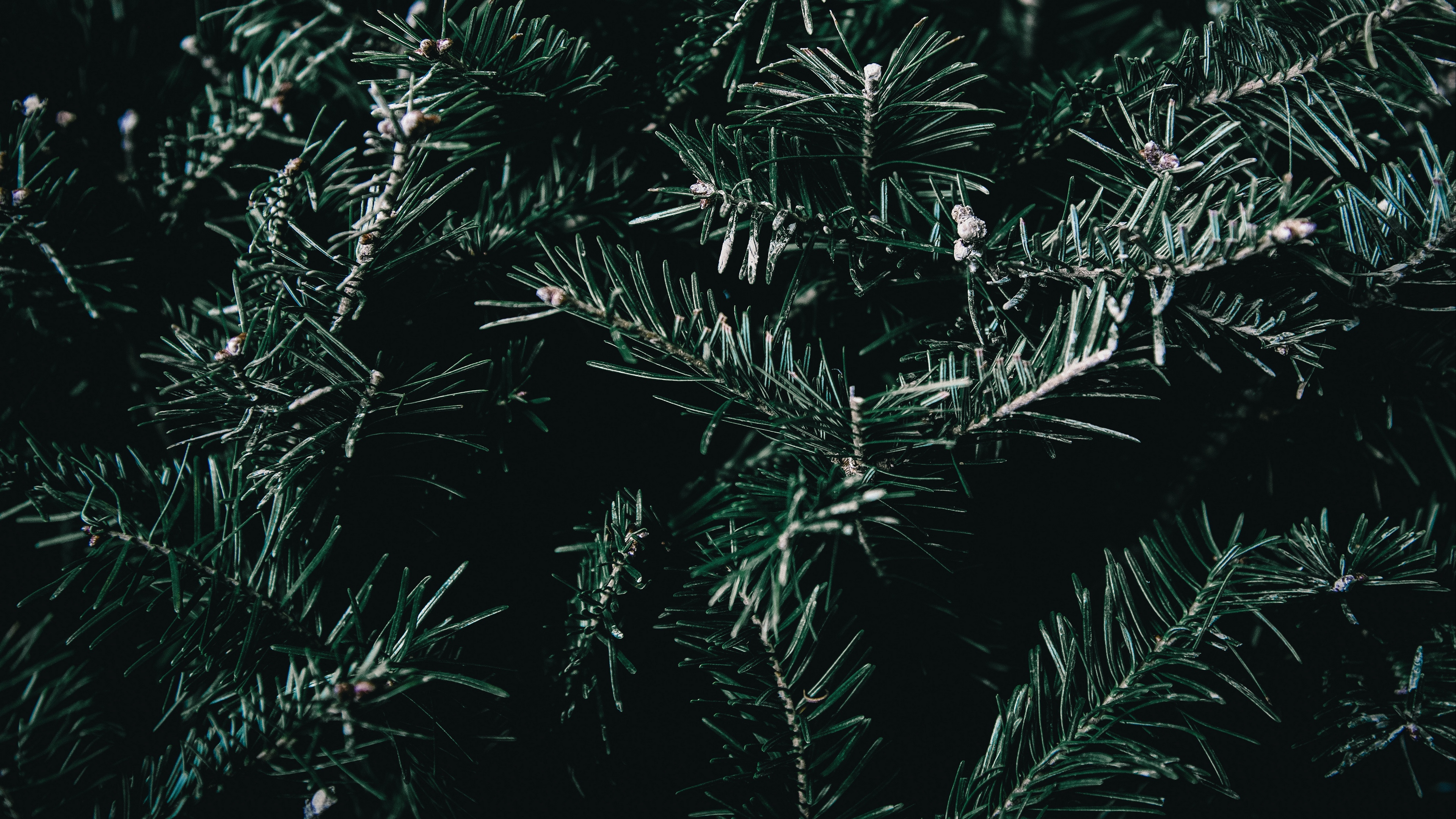 spruce branches spines 4k 1541116607 - spruce, branches, spines 4k - spruce, spines, branches