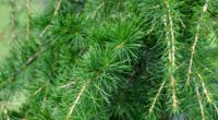 spruce pine branches needles 4k 1541117503 200x110 - spruce, pine, branches, needles 4k - spruce, Pine, branches