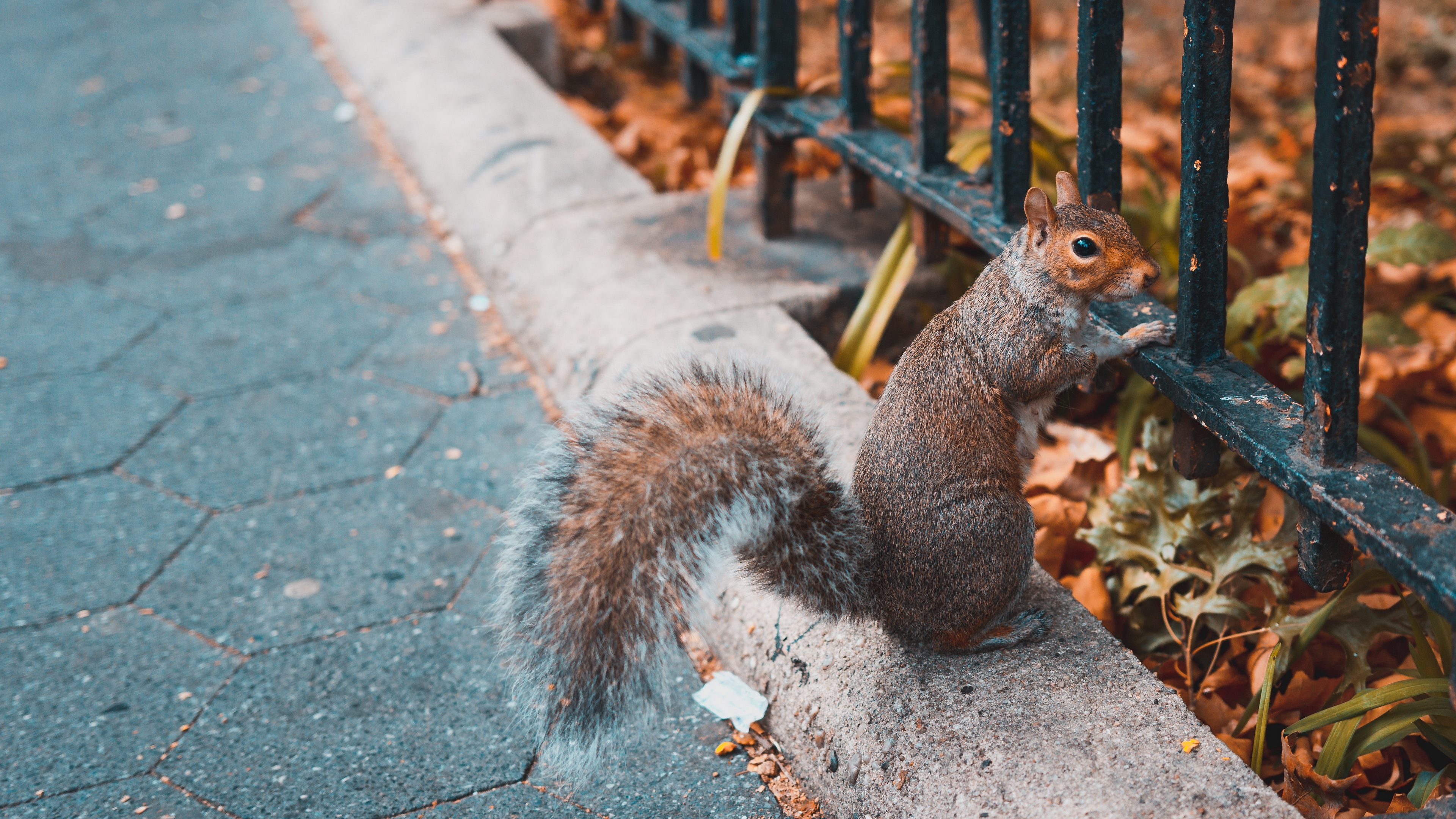 squirrel animal fence stand 4k 1542241753 - squirrel, animal, fence, stand 4k - Squirrel, fence, Animal