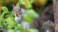 squirrel animal foliage 4k 1542242215 200x110 - squirrel, animal, foliage 4k - Squirrel, foliage, Animal