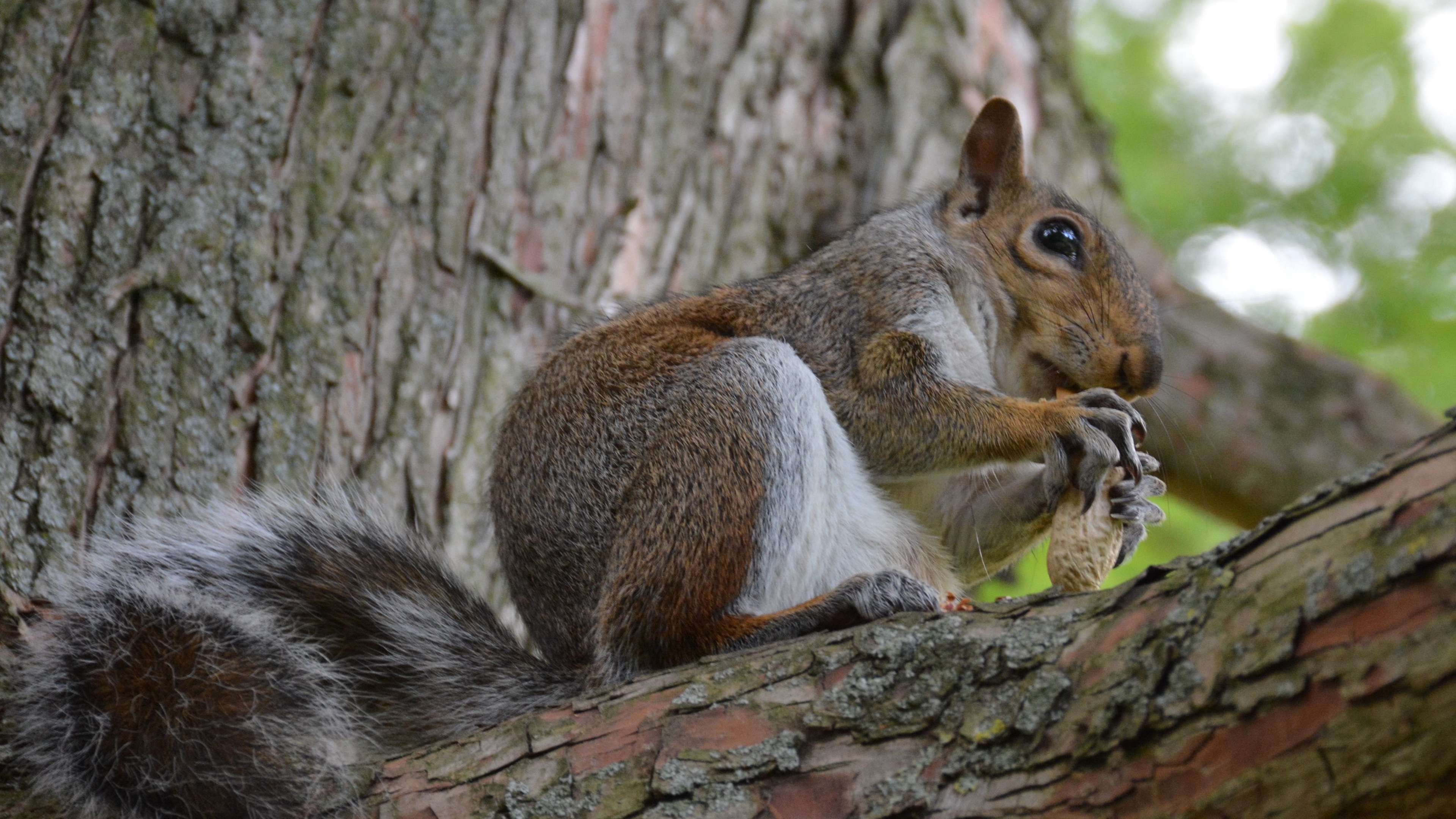 squirrel bark nuts animal 4k 1542242346 - squirrel, bark, nuts, animal 4k - Squirrel, nuts, bark
