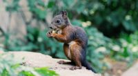 squirrel food rodent 4k 1542241415 200x110 - squirrel, food, rodent 4k - Squirrel, rodent, food